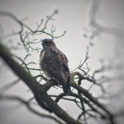 Roofvogel in Twente