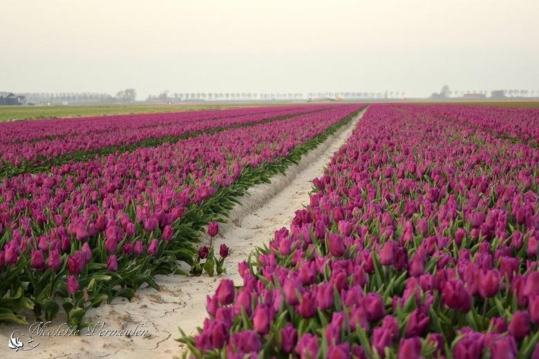 Tulpenveld in Zeeland - Lente in Zeeland
