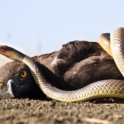 Snake vs. bird