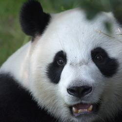 Panda ziet voedsel