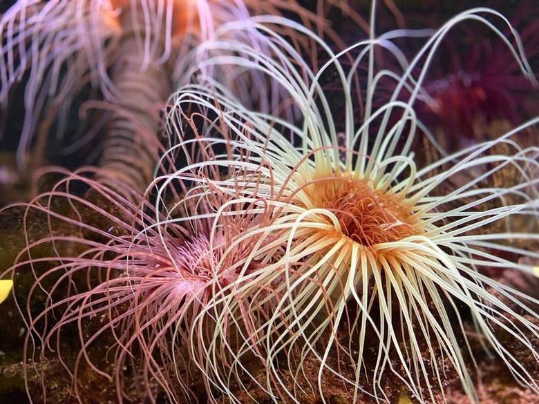 Zeeanemoon in aquarium -