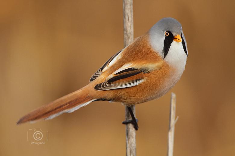 Baardmannetje 4 - Baardmannetje op een rietstengel, <br /> in het natuurgebied van park Assumburg in Heemskerk<br /> heb ik van dit mooie vogeltje m