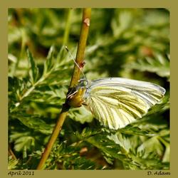 En de 1e vlinder 2011 in Engbertsdijksvenen