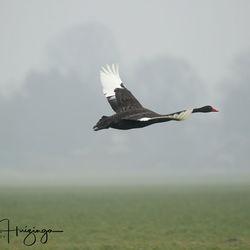Zwarte zwaan in de vlucht