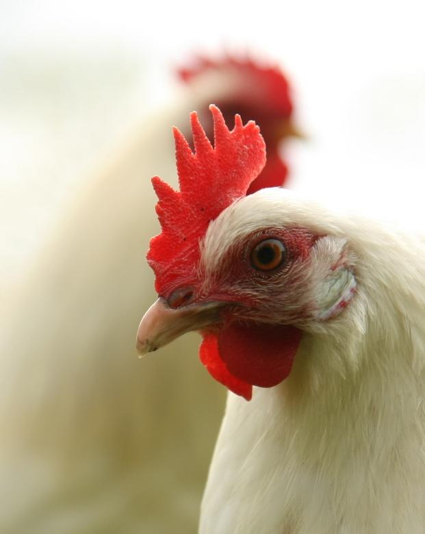 Tok - Tok Tok, 2 kippies op een kinderboerderij
