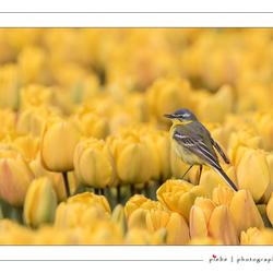 Gele kwikstraat op gele tulp