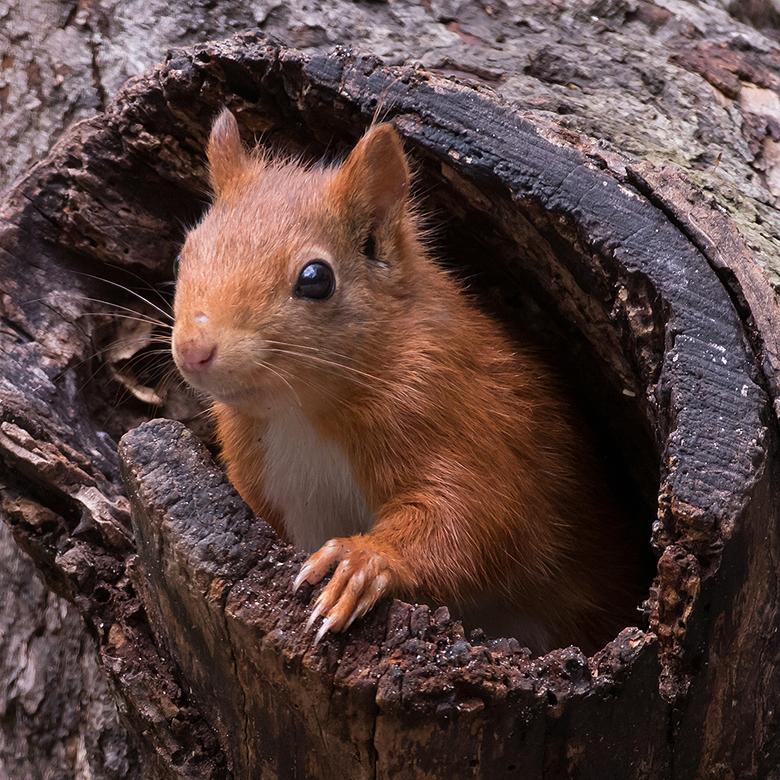 Nieuwsgierig - Vorige week kon ik dit nieuwsgierige Eekhoorntje mooi fotograferen