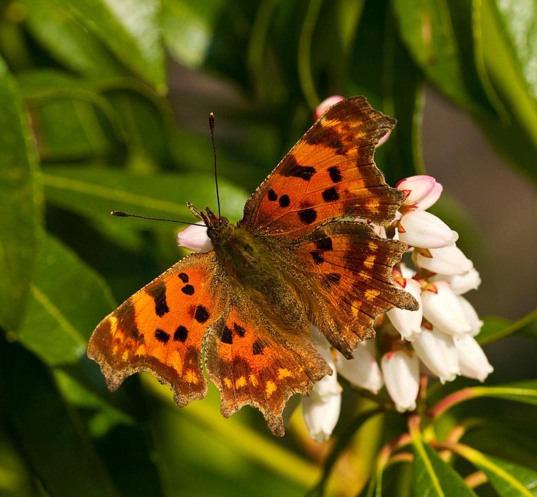 Gehakkelde Aurelia al op 22-03-2011 - Op de tweede dag van de lente komen er binnen een paar uur drie soorten vlinders langs, Deze Gehakkelde Aurela,