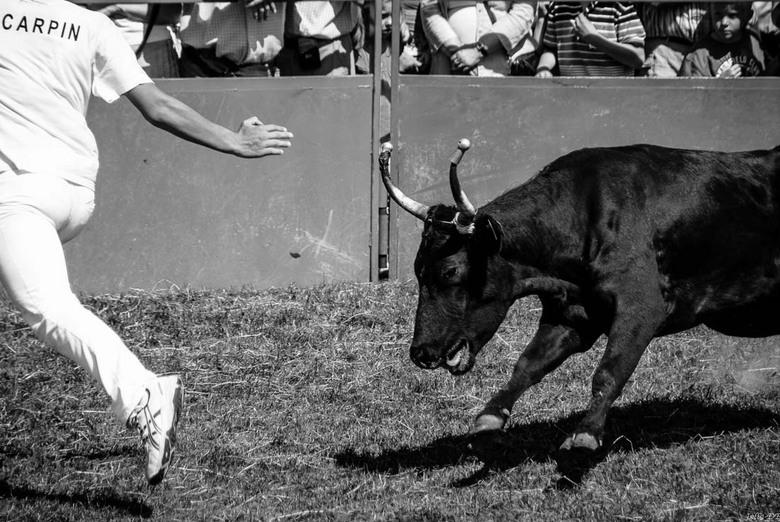 Wie is er bang? - De sport van wie durft het dichtst bij de stier te komen.