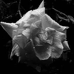 Zwart/wit bewerking roos