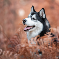 Husky tussen de Varens in het bos.