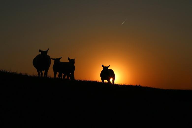PAASLAMMETJES - Aan het eind van een warme middag fotograferen in de polder zag ik dit tafereel. Nog even gewacht tot de zon precies genoeg gezakt was