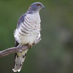 Afrikaanse Koekoekswouw (Zuid Afrika)