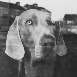 Weimaraner achter het raam