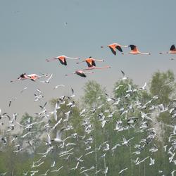 Flamingo's achter na gezeten door een wouw