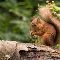 Ierland- red squirrel