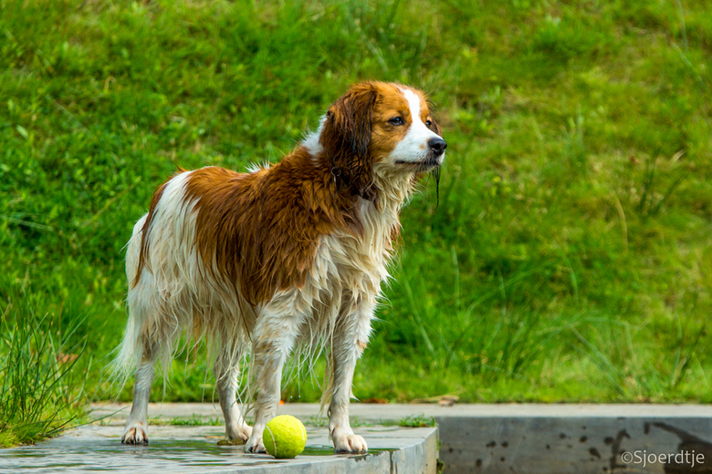 Jess - Dit is Jess, een kooiker van 7 jaar. Het is mijn buurhond en ik ga vaak wandelen met hem en zijn vrouwtje. Mooie gelegenheid om foto's te
