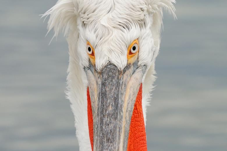 """Hypnotising Eyes - Gelieve niet te lang in de ogen van deze Kroeskop Pelikaan te kijken om niet door hem te worden gehypnotiseerd <img  src=""""/images/s"""