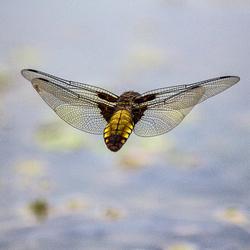 Libelle .jpg