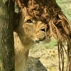 Wat, ben ik straks de laatste leeuwin?
