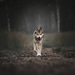 Wolf(hond) in het bos