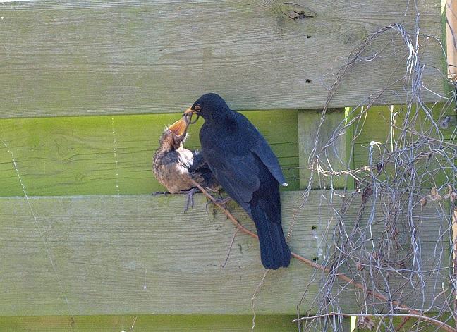 merel voert haar jong - 'onze' merel voert haar pas uit het nest gevlogen jong!