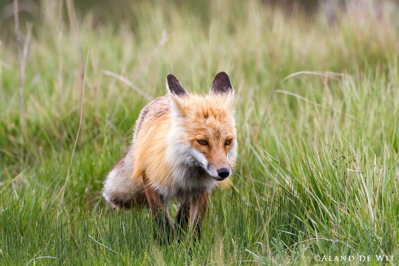 Arriving - Deze vos een uurtje prima kunnen observeren. Aankomend in het veld, sluipend, springend en een aantal maal succesvol een prooi grijpend.