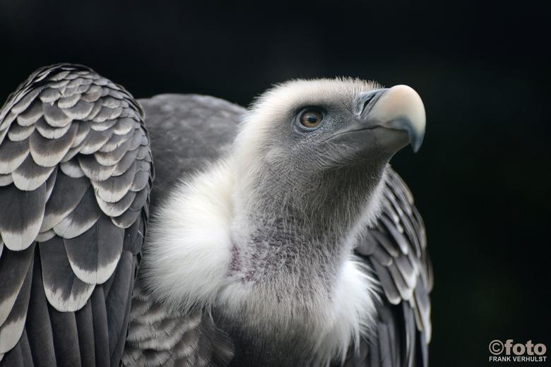 gier - bij avifauna deze gier gezien