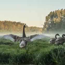 Fam zwaan op een mistige ochtend
