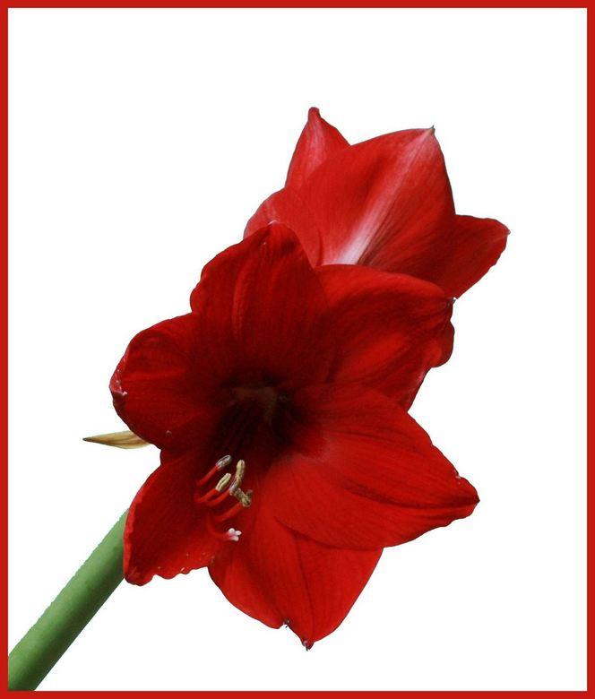 bloem 2 - zelfde bloem<br /> maar bewerkt met fotoshop