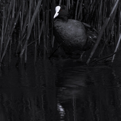 Black and White Coot!