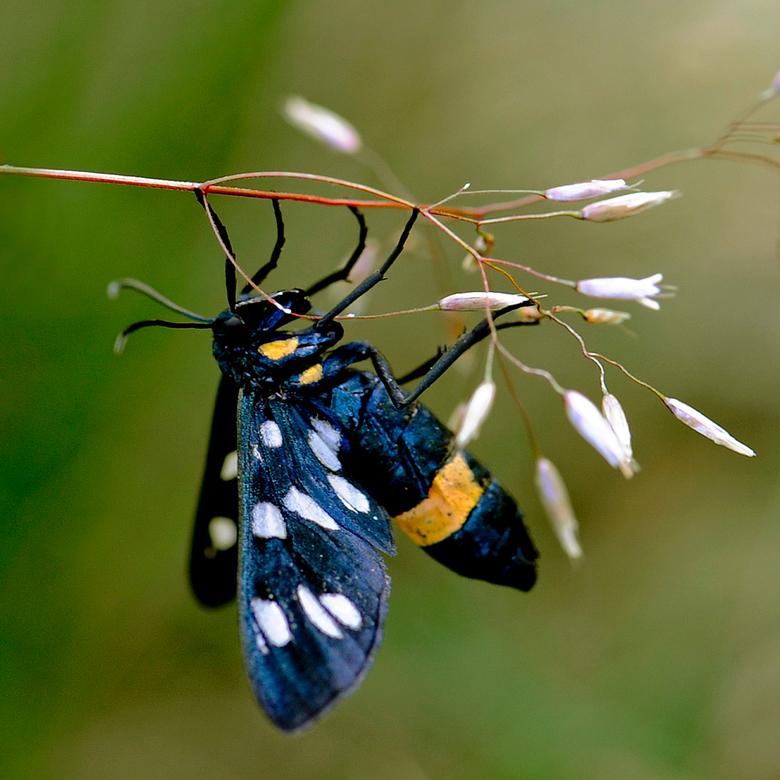 phegea vlinder 2 - Nog een foto van de mooie phegea vlinder. Nu in een karakteristieke pose, want zo tref je ze in deze tijd van het jaar vaak aan in