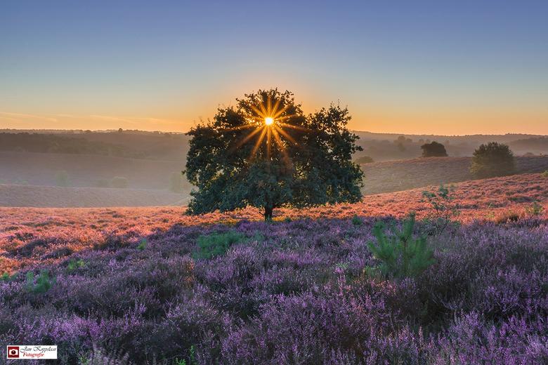 Risen star - vanmorgen genoten op de Posbank (Gelderland, Nederland). De heide is schitterend paars en in combinatie met de zonsopkomst erg mooi. Hela