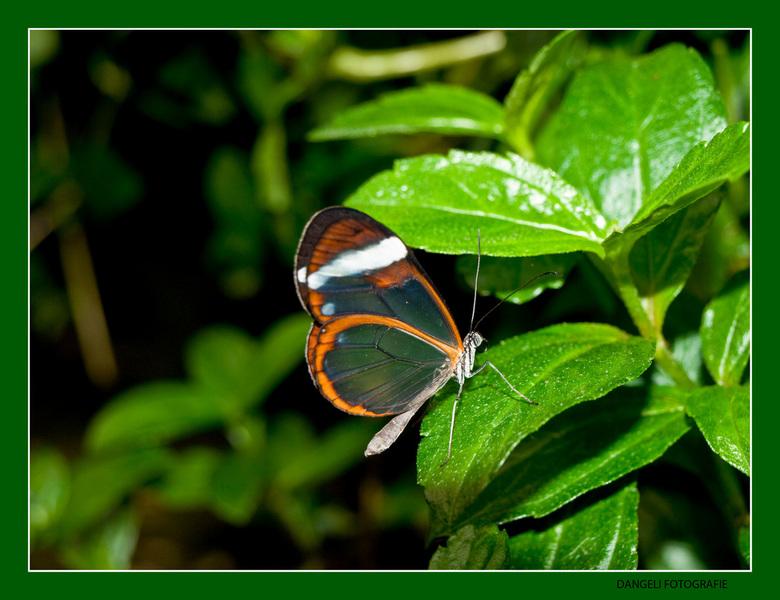 Doorzichtige Vlinder - Een doorzichtige vlinder... gemaakt in de Hortus Botanicus te Amsterdam
