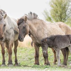 voorjaar 2016 Konikpaarden Oostvaardersplassen