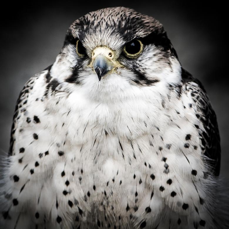 Roofvogel portret - Roofvogel portret