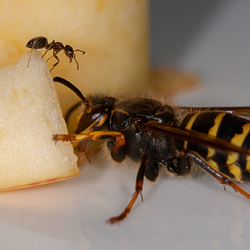 The Ant and the Hornet: Hi