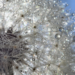 Dandelion magic