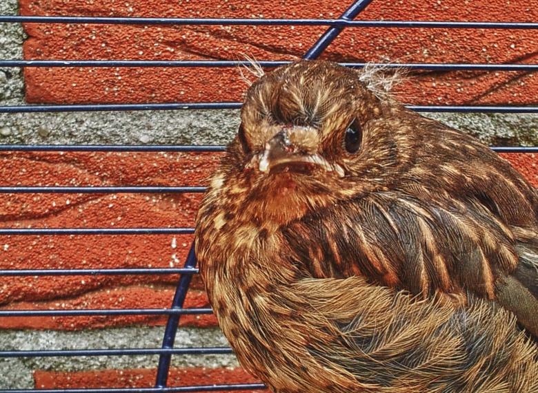 Mereltje - Merel is verstoten geweest uit het nest en door mijn buurman met de hand groot gebracht, Gaat deze week de wijde wereld weer in.