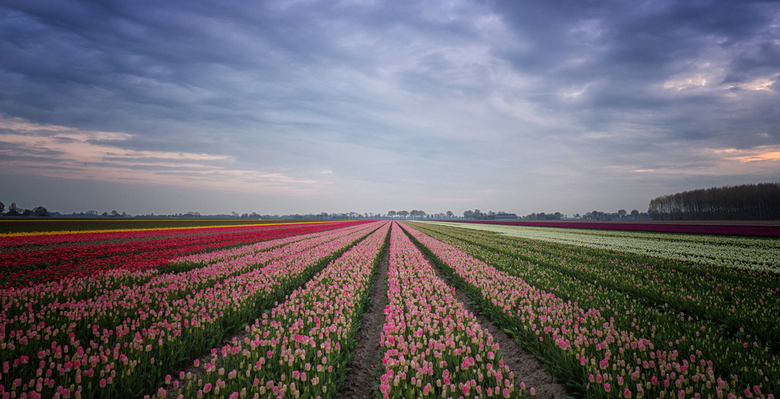 Tulpen uit Groningen