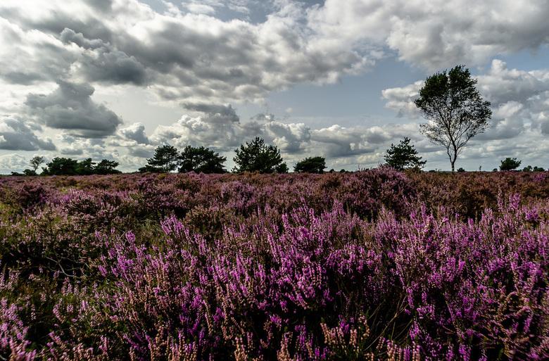 Bloeidende Heide - Speuld
