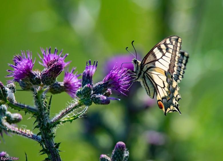 koninginnepage - zellfde plek als vorige keer maar andere vlinder,Vleugeluiteinden lijken korter maar kan gezichtsbedrog zijn.