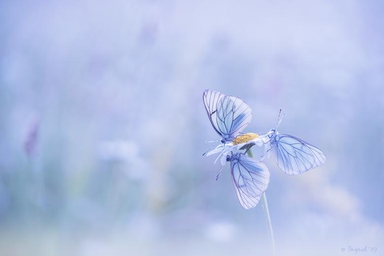 Groot geaderd witje - Een paar mooie dagen in La Brenne doorgebracht en elke ochtend vroeg op om vlinders en ander moois te fotograferen. Heel blij da