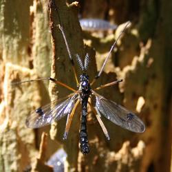 Welk insekt is dit ?
