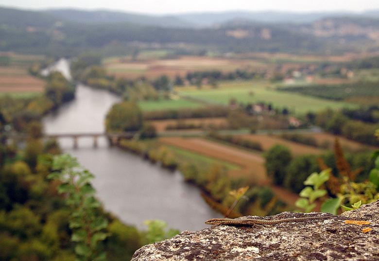 Muurhagedis met de Dordogne - Een muurhagedis met op de achtergrond de rivier Dordogne.  <br /> Deze foto is van oktober 2007.