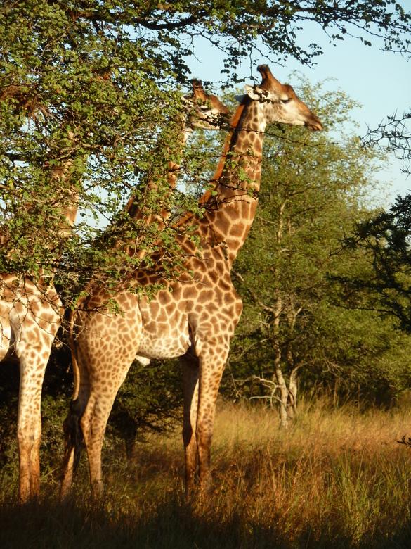 3 op een rij - Normaal zijn giraffen nogal schichtig, maar deze 3 bleven toch maar mooi poseren in Zuid Afrika.