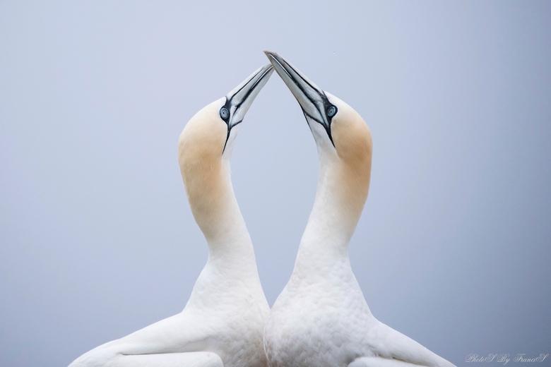 Love is in the air. - Zo mooi om het liefdesgedrag te zien telkens als ze elkaar afwisselen op het nest. Nog steeds aan het nagenieten van de mooie da