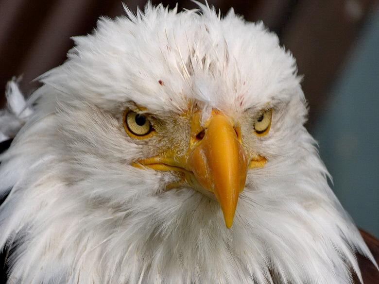 Vogel serie 263. zeearend. - Amerikaanse zeearend.<br /> De Amerikaanse zeearend of witkopzeearend is een roofvogel die in Canada en de verenigde sta