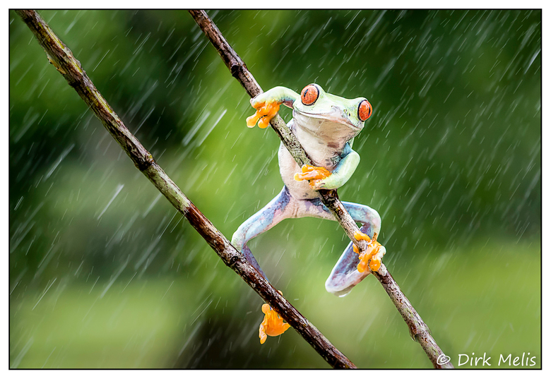 Red-eyed tree frog -