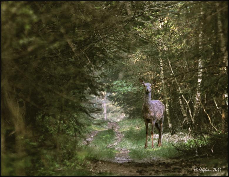 Hinde op bospad - Na lang afwezig zijn geweest op zoom plaats ik toch maar weer eens een foto.<br /> Ik wilde het al eerder doen maar door het overli